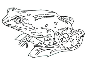 Frog - colouring
